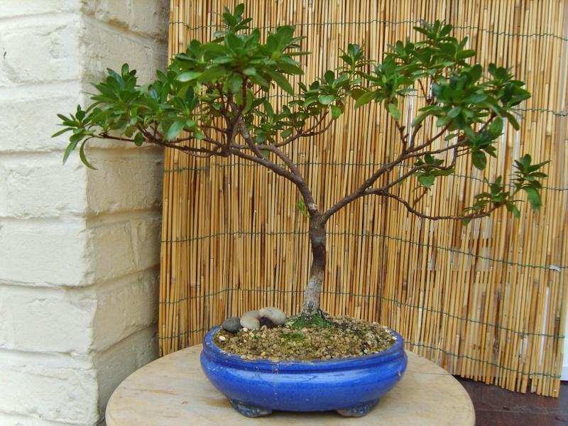mes bonsaïs - Page 2 11sept15