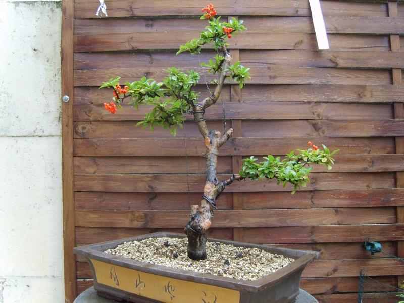 mes bonsaïs - Page 2 11sept21