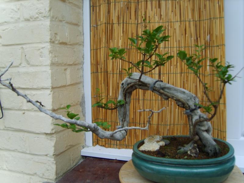 mes bonsaïs - Page 2 11sept22