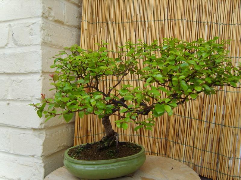 mes bonsaïs - Page 2 11sept24