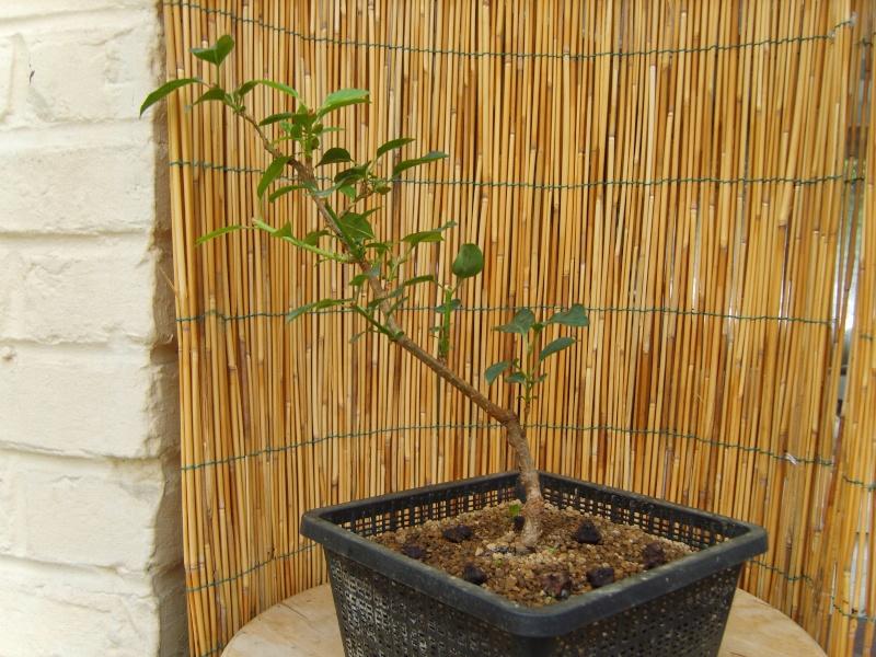 mes bonsaïs - Page 2 15juin10