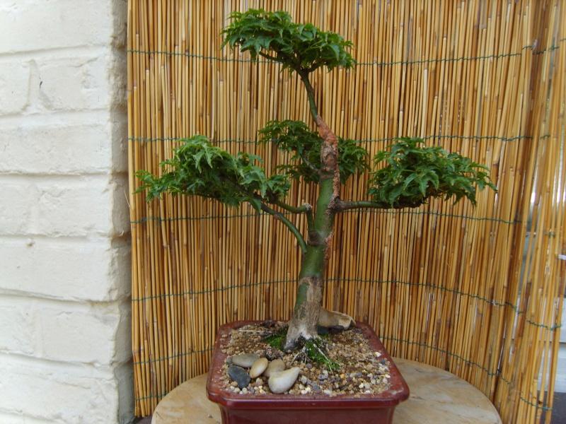 mes bonsaïs - Page 2 15juin11