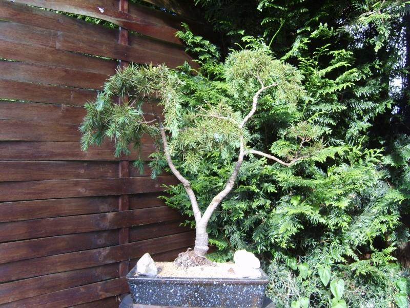 mes bonsaïs - Page 2 15juin12