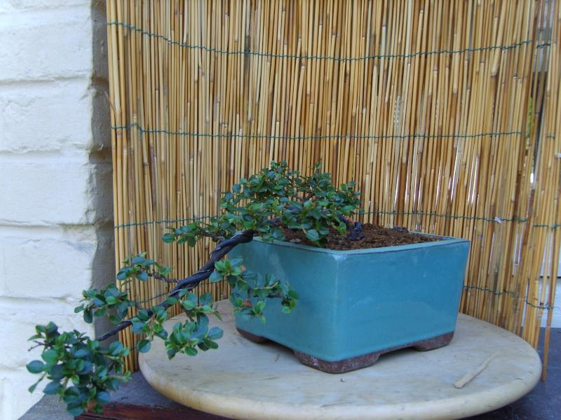 mes bonsaïs - Page 2 15juin13