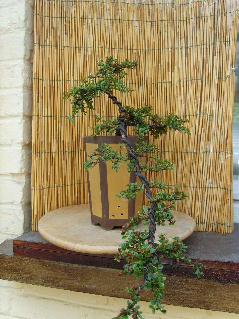 mes bonsaïs - Page 2 15juin14