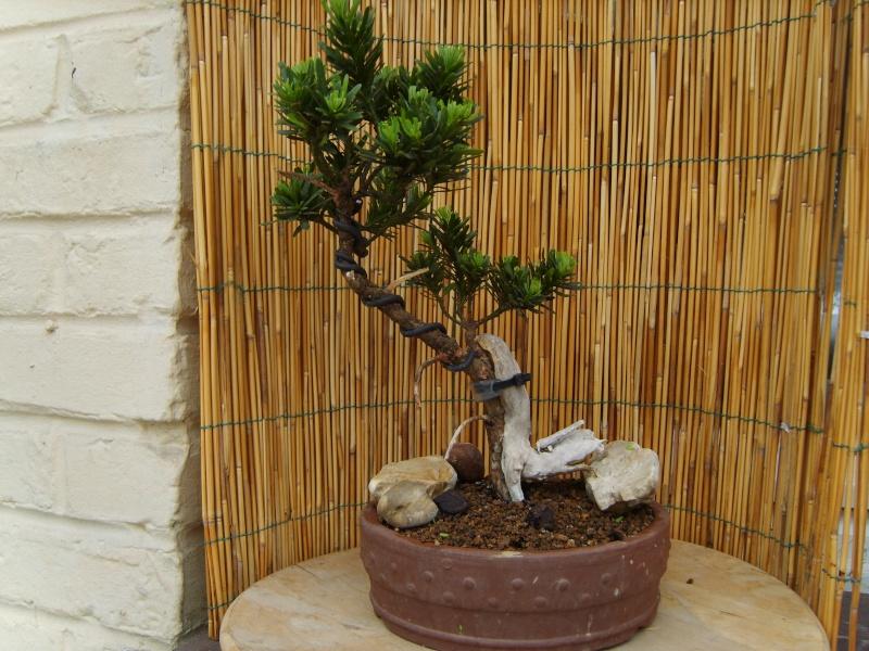 mes bonsaïs - Page 2 15juin19