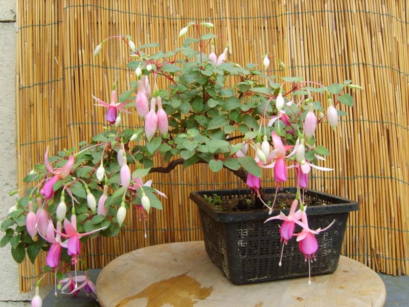 bonsaï fuchsia  - Page 2 17aout12