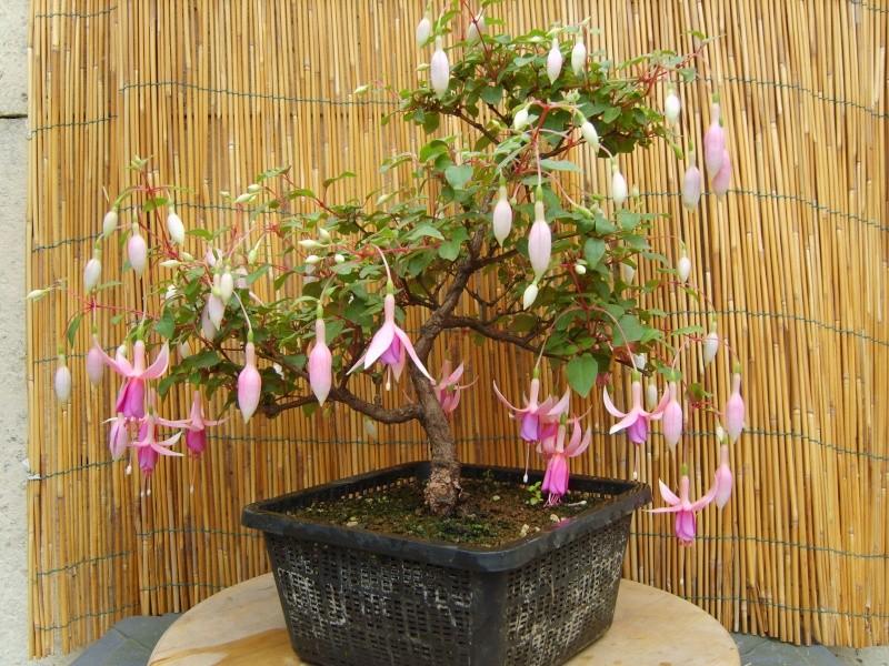 bonsaï fuchsia  - Page 2 17aout13