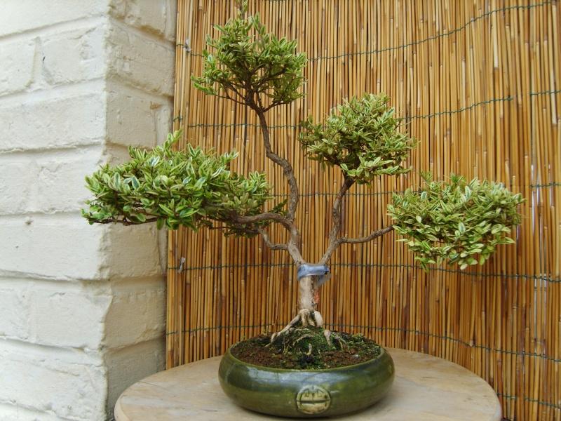 mes bonsaïs - Page 2 22juin10