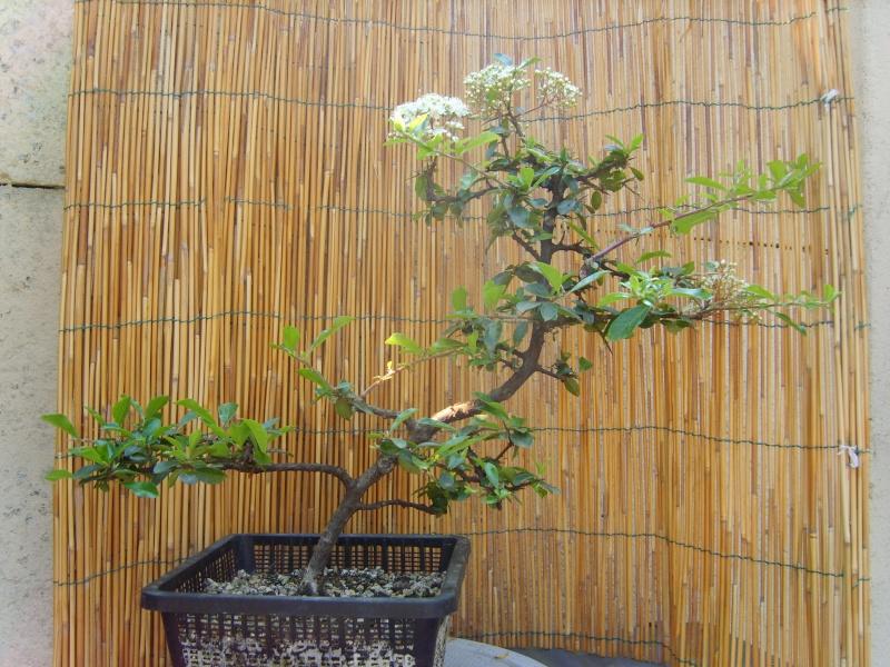 mes bonsaïs - Page 2 8juin210