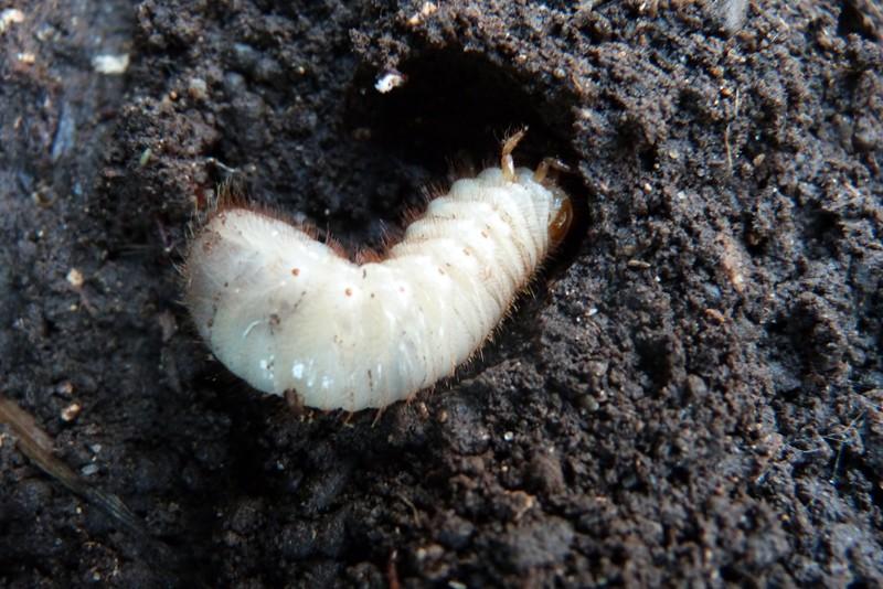 Larve de coleoptère (peut être hanneton) P1000512