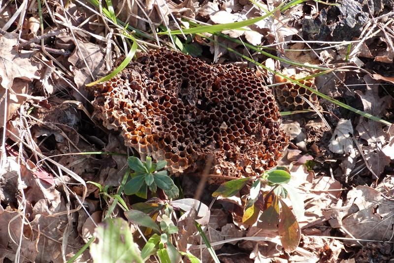 Alvéoles d'abeille P1000712