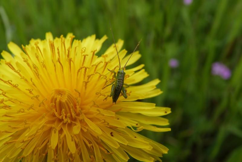 Pissenlit et un juvenil sauterelle  P1030012