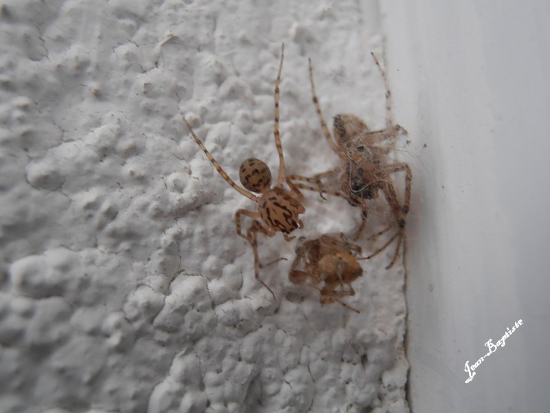 [Scytodes thoracica et Zygiella notata] 3 araignées (photo octobre 2012) Pa220010