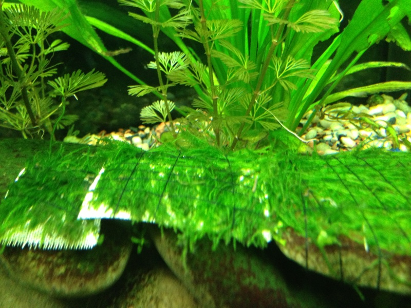 Freshwater Mosses For Sale (4-15 through 4/30) 210