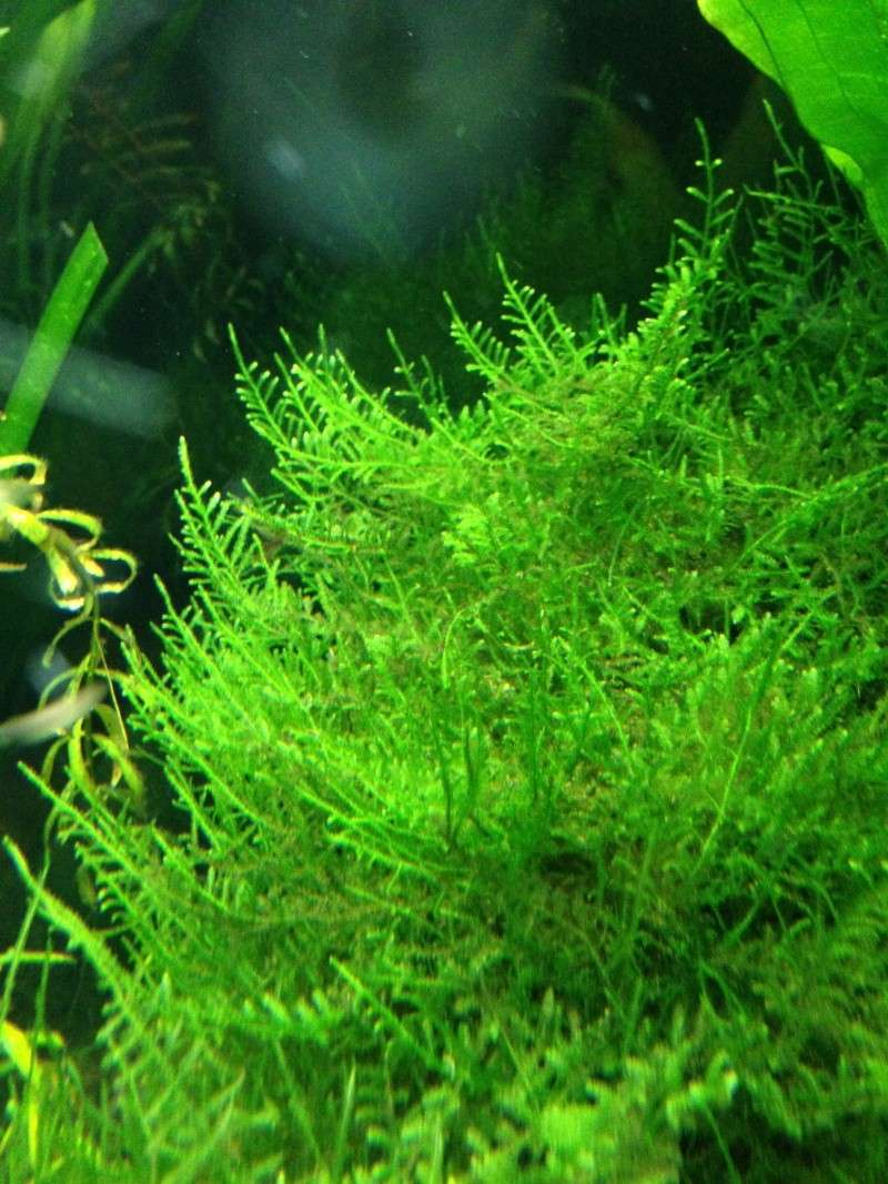 Freshwater Mosses For Sale (4-15 through 4/30) 510