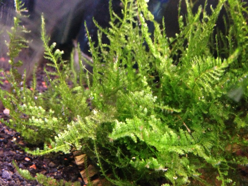 Freshwater Mosses For Sale (4-15 through 4/30) 610