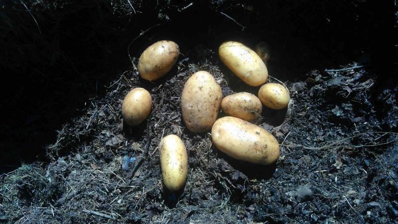 Des petites pommes de terre 111