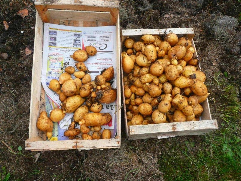 Des petites pommes de terre 215