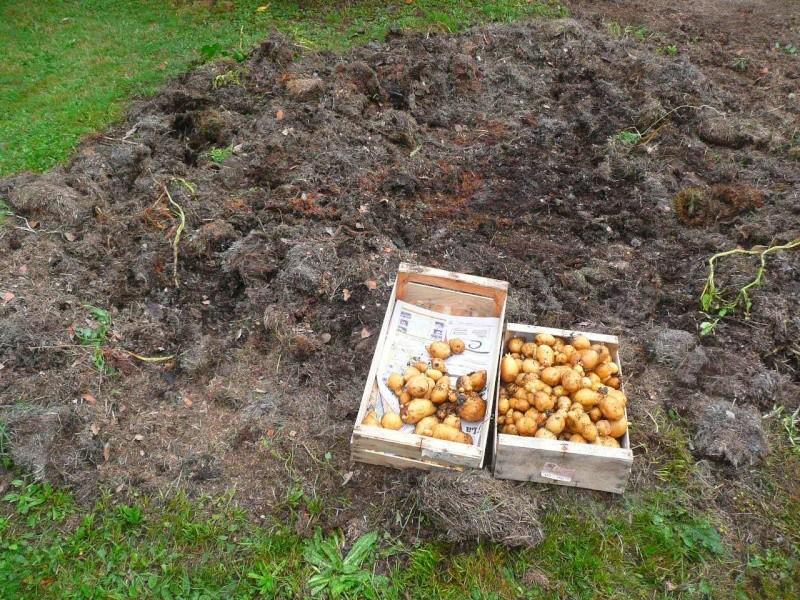 Des petites pommes de terre 314