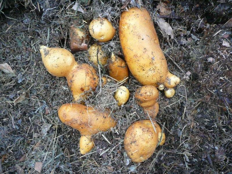 Des petites pommes de terre P1300410
