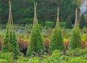 Bambou. 712