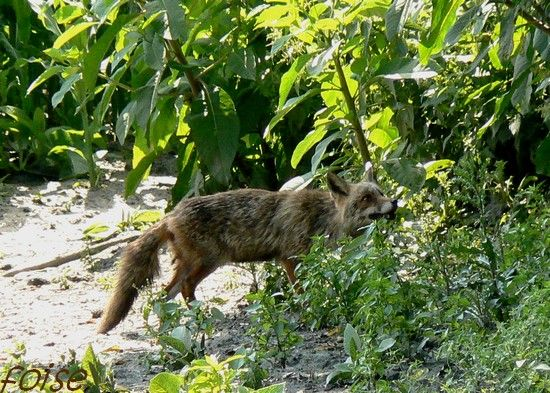 Le renard, la renarde et le loup 27812510