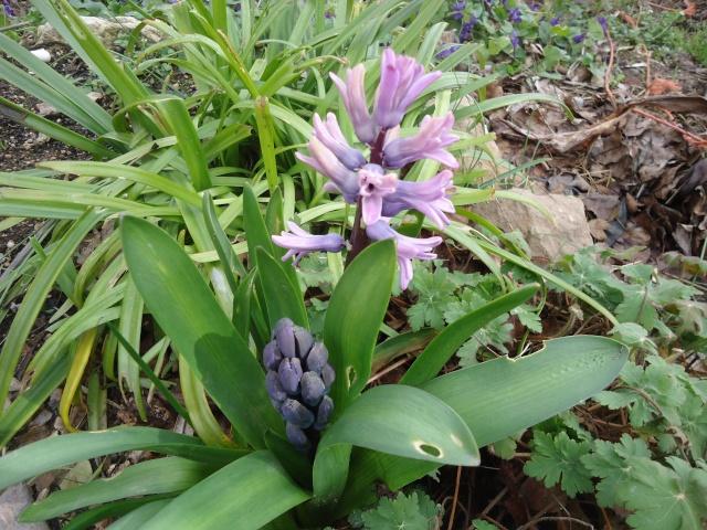 Jacinthe , Hyacinthus - Page 5 01714