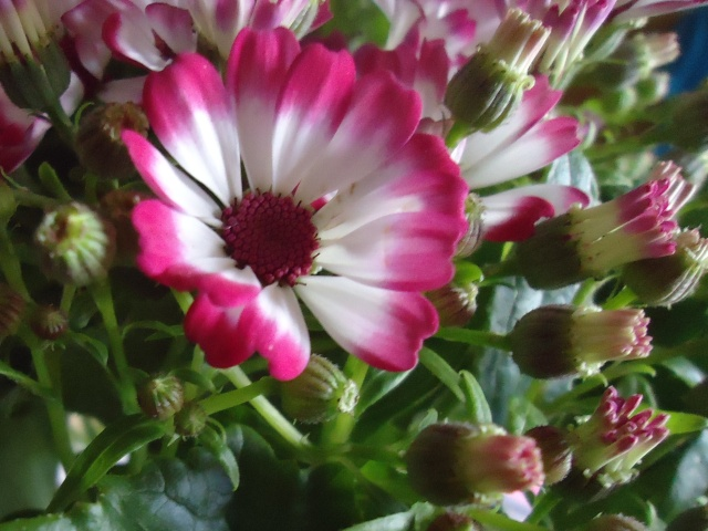 cinéraire des fleuristes Ghj_0010