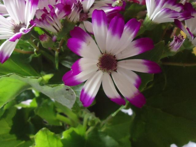 cinéraire des fleuristes Ghj_0011