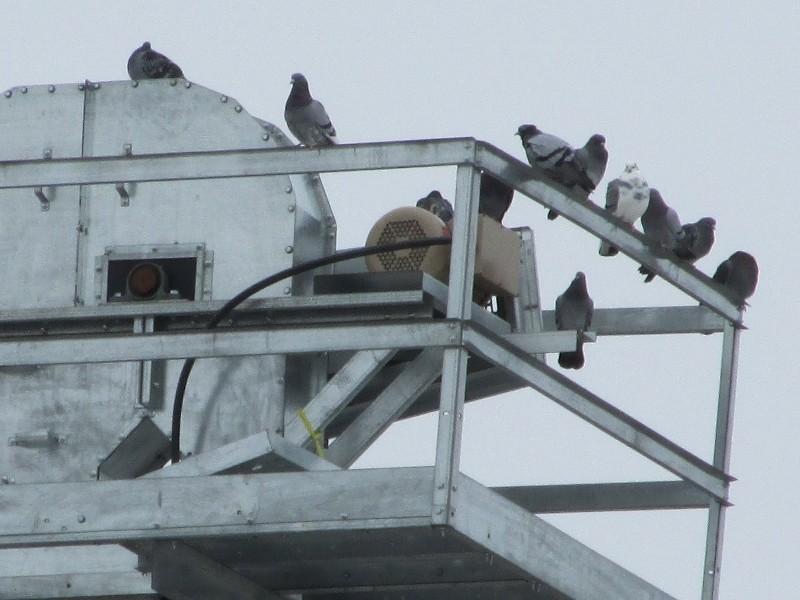 Pigeons biset au faîte d'un silo Img_0513