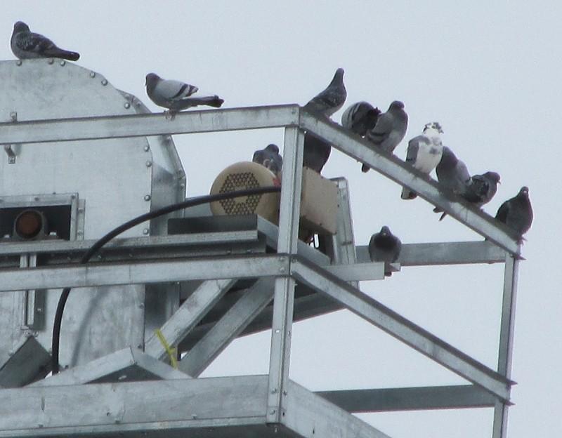 Pigeons biset au faîte d'un silo Img_0514