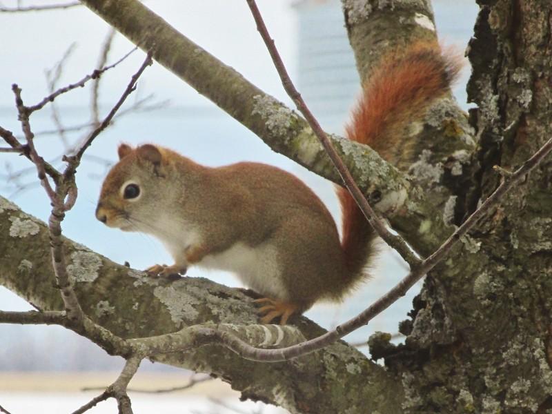 Mon premier écureuil roux Img_1019