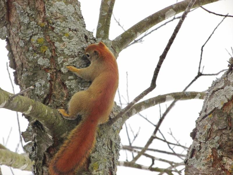 Mon premier écureuil roux Img_1021