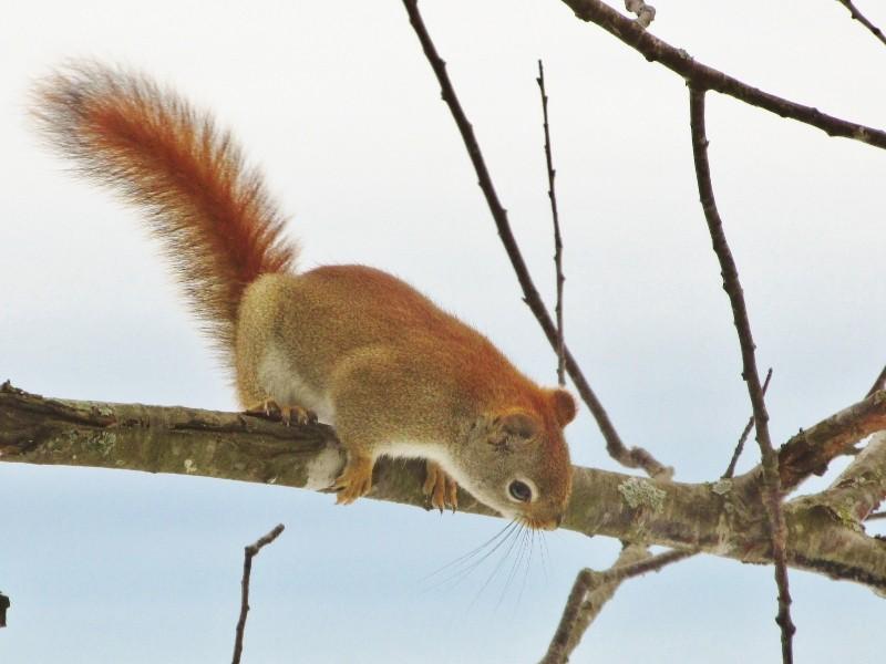 Mon premier écureuil roux Img_1022