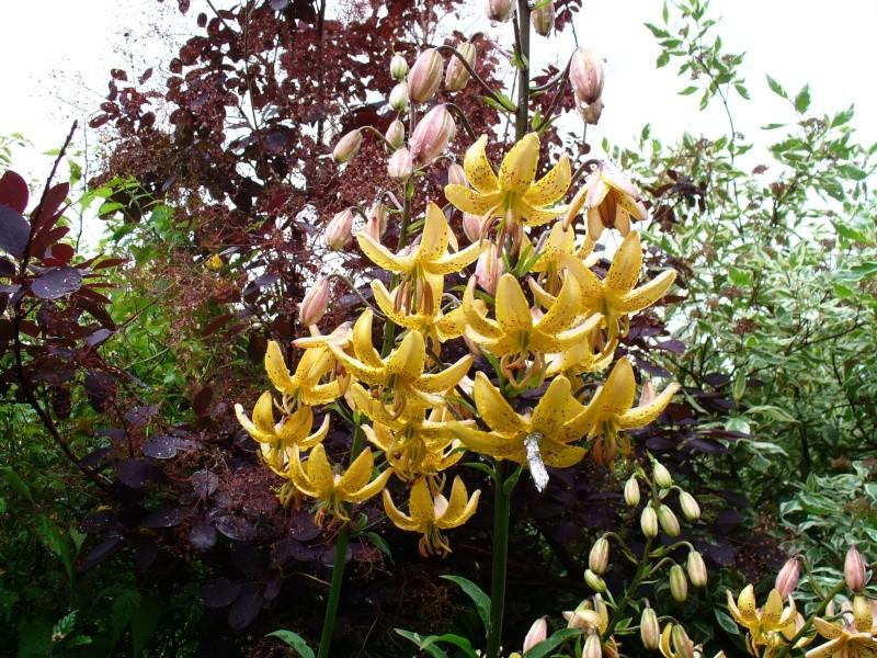 Lilien(artige) -  natürlich Lilien, aber auch Inkalilien, Zeitlose, Germer und Stechwinden - Seite 3 P1020713