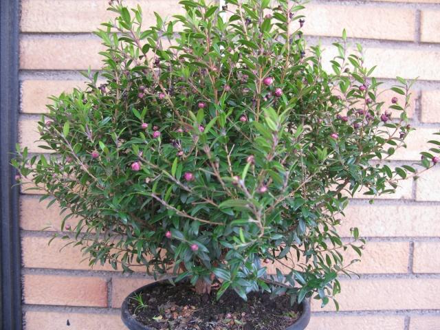 da mirto da vivaio a futuro bonsai Img_2813