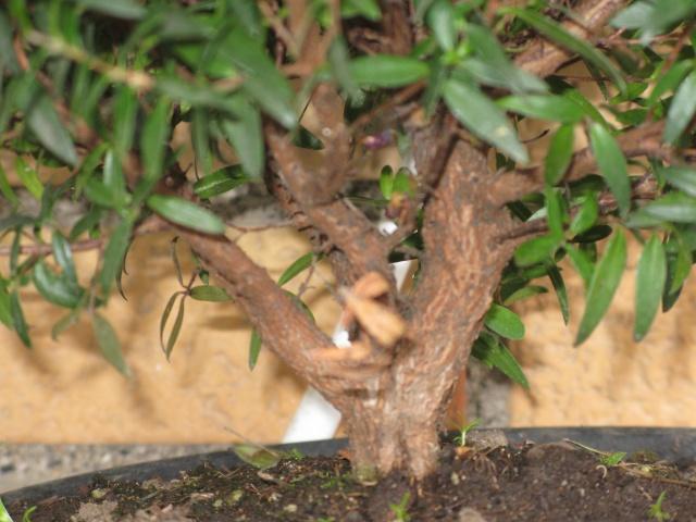 da mirto da vivaio a futuro bonsai Img_2814