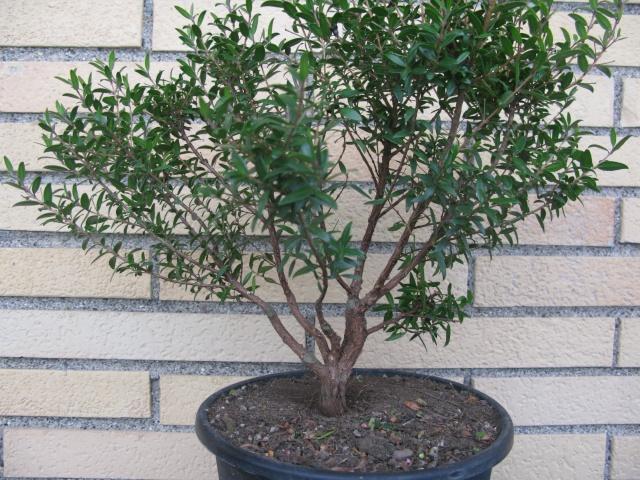 da mirto da vivaio a futuro bonsai Img_2815