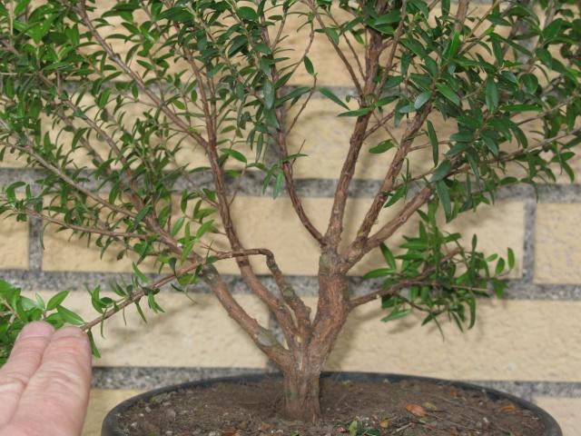 da mirto da vivaio a futuro bonsai Img_2816