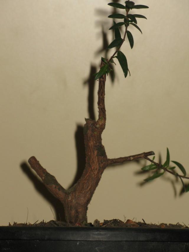 da mirto da vivaio a futuro bonsai Img_2817