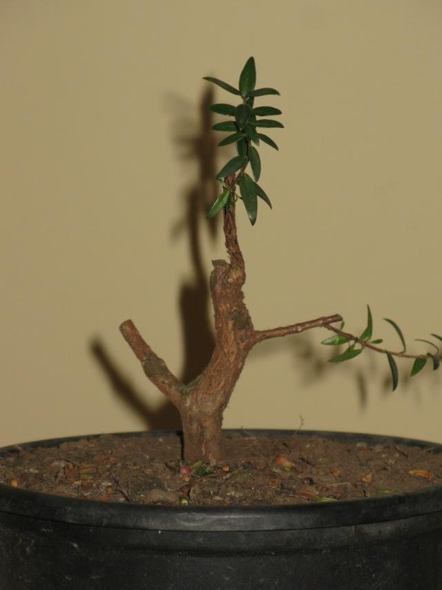 da mirto da vivaio a futuro bonsai Img_2818