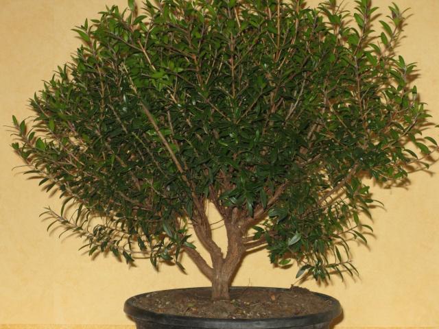 da mirto da vivaio a futuro bonsai Mirto110