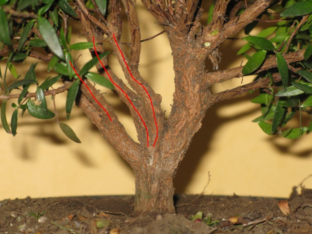 da mirto da vivaio a futuro bonsai Mirto_14
