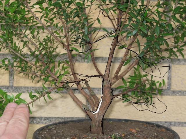 da mirto da vivaio a futuro bonsai Virtua10