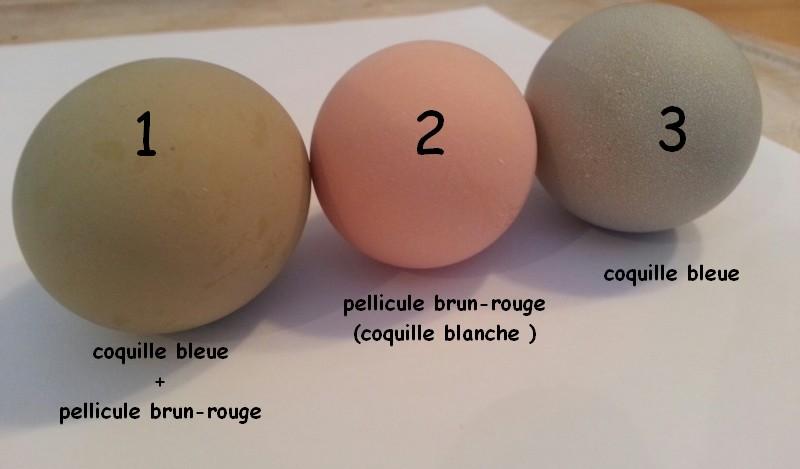Oeufs de couleurs différentes chez une même poule Ganati10