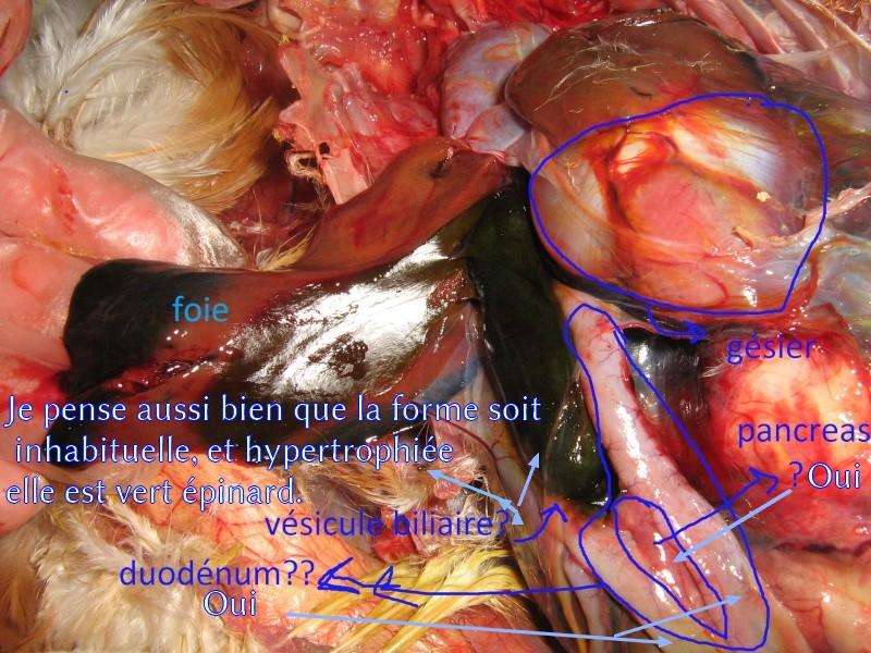 poule malade (salmonelle??? Je panique!!!) [dissection - salpingite] - Page 7 Identi11