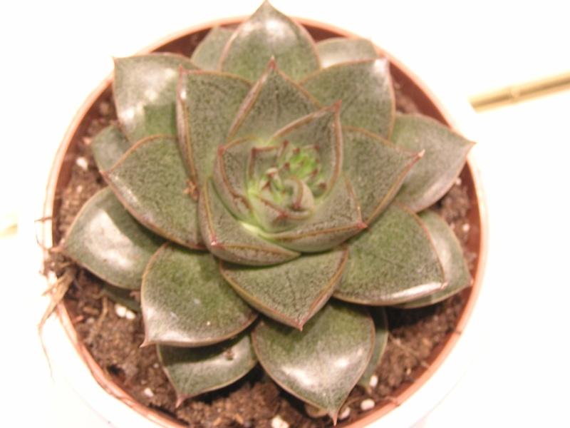 J'ai craqué mais je  connais  son nom : Echeveria Purpusorum P1280410