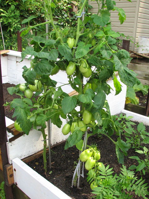 Tomatoes Not Suitable for SFG August12