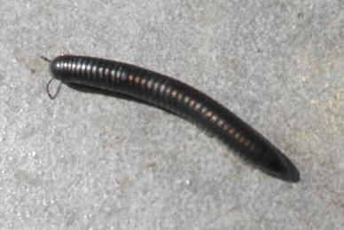 Diplopoda ?  Photo_11